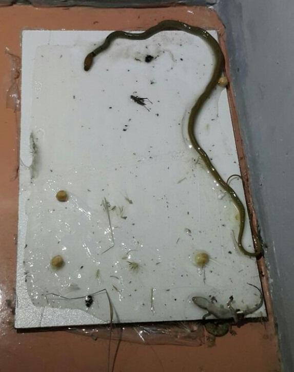 מלכודת לנחשים